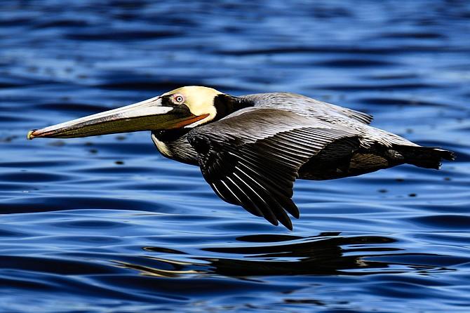 Pelican cruising south bay near the Coronado Cays.
