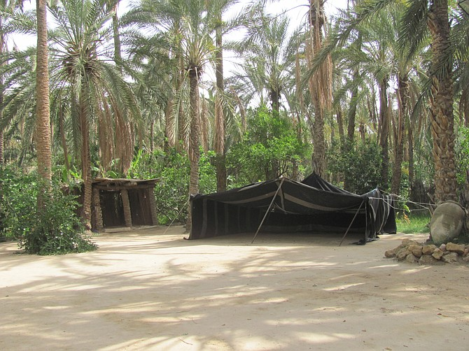 Date Palms in Tozeur oasis
