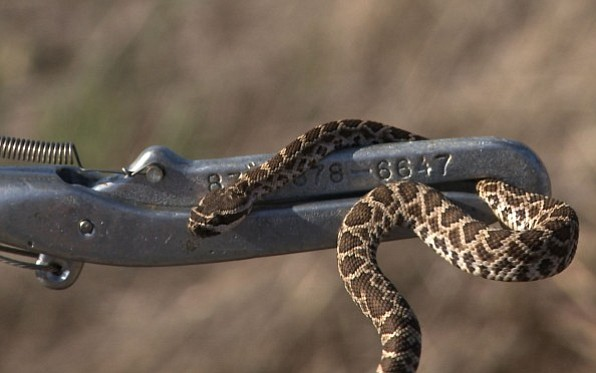 The county gets calls about snakes all year long but much less during the cold months of November through February.