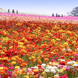 Fifty acres of giant Tecolote ranunculus flowers