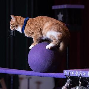 Stress-free cats perform circus tricks