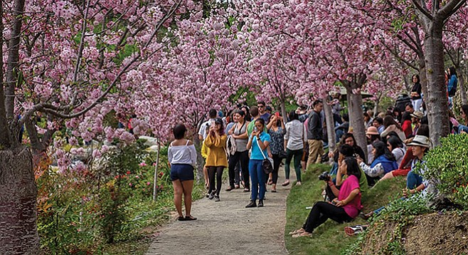 Friday, March 9: Cherry Blossom Festival
