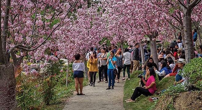 Friday, March 9: Cherry Blossom Festival