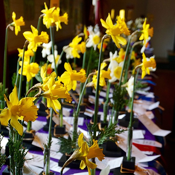 Pick the prettiest daffodil — 1000 on display in Julian