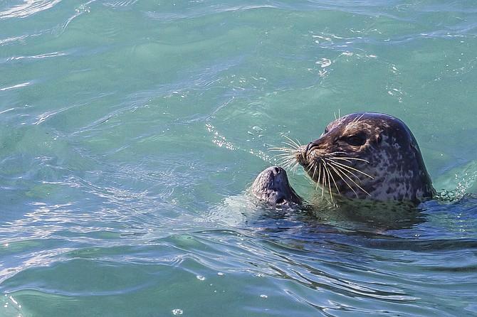 La Jolla seals, pupping season
