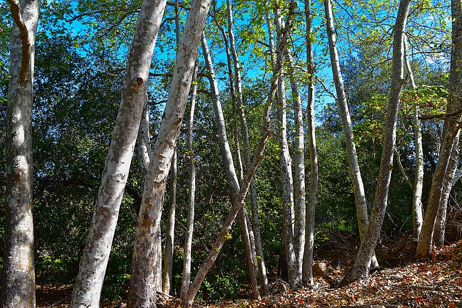 Nice grouping of western sycamore (Platanus racemosa) tree trunks on the Chicarita Creek Trail, in Carmel Mountain.  March 2018