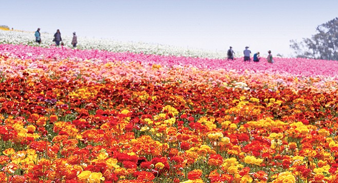 Del Mar Mud Run Carlsbad Flower Fields Titus Andronicus And