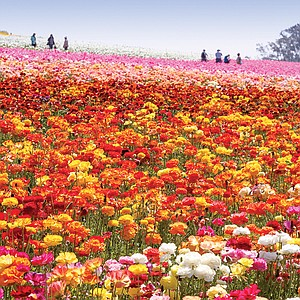 The flowers come in 13 colors.