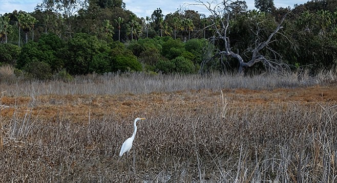 A great egret visits the wetlands of La Orilla