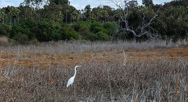 A great egret visits the wetlands of La Orilla