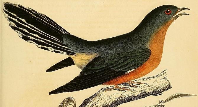 But O, I spy the cuckoo, the cuckoo, the cuckoo