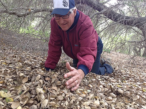 Mushroom hunter Kim Moreno scrapes gingerly at the forest floor