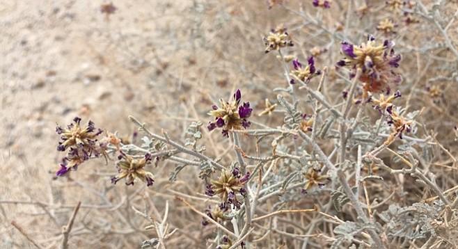 White dalea. or dyebush, has purple flowers with orange dye glands