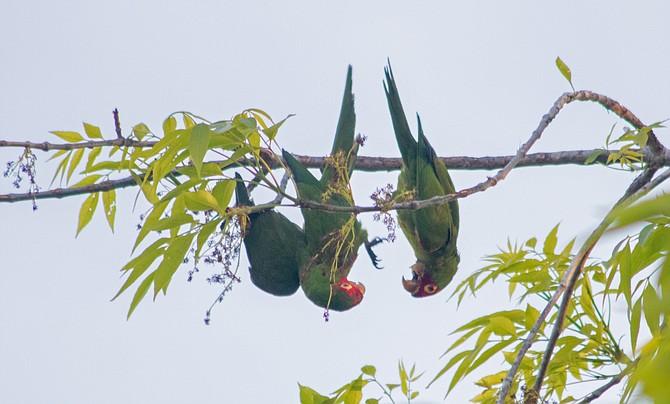 OB Parrots