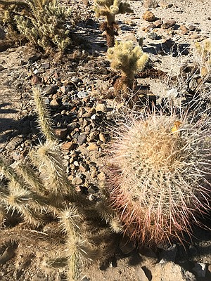 Beware of cholla and cactus spines on the trail