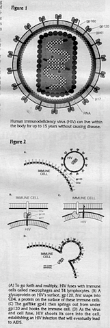 Figure 1. Human Immunodeficiency virus (HIV) can live within the body for up to 15 years without causing disease.  Figure 2 (A) To go forth and multiply, HIV fuses with Immune cells called macrophages and T4 lymphocytes. (B) A glycoprotein on HIVs surface, gpl 20. first snaps Into CD4. a protein on the surface of these Immune cells. (Q The gafflike gp41 then springs out from under gpl20 and hooks the Immune cell. (D) As the virus and cell fuse. HIV shoots Its core Into the cell, establishing an HIV Infection that will eventually lead to AIDS.
