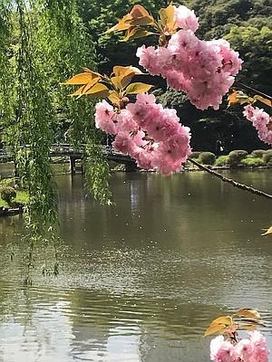 Cherry blossoms, Shinjuku Gyoen National Garden, Tokyo.