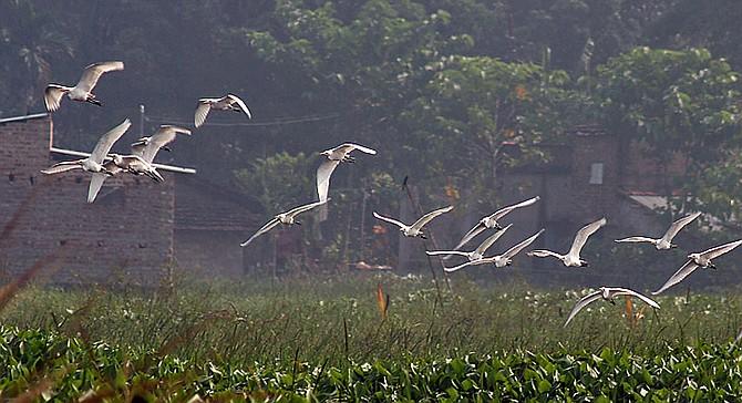 Egrets in flight