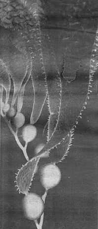 """Throughout 1983 and 1984 """"the kelp curlers would eat off all the blades, so you would see stipes [stalks] with just the floats. Whole areas at the south end of the Point Loma forest were completely denuded."""""""