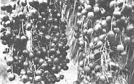 The fruit of the blue palm was probably the major reason the Cocopa Indians visited Canon Tajo.