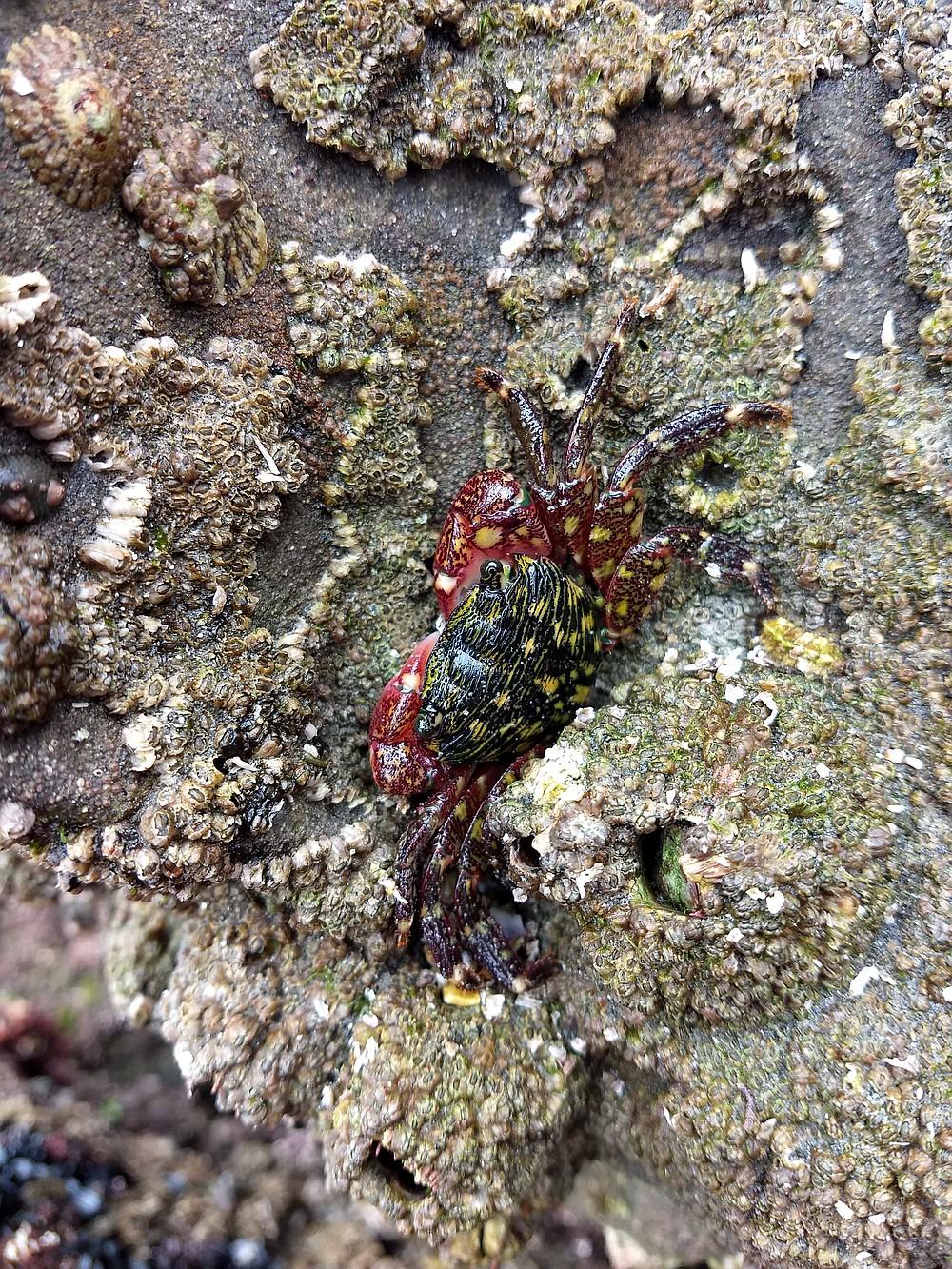 Striped shore crab at a tide pool near Dike Rock in La Jolla