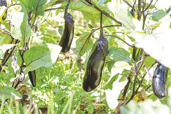 These Japanese millionaire eggplants are among the over 50 varieties of fruits and vegetables at Two Forks Farm.