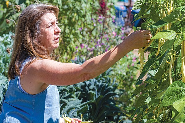 Trish Watlington picks French Gold beans.