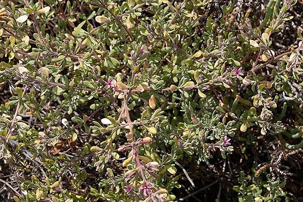 Stonebride-Alkali Heath (Frankenia salina) is a woody perennial that grow in a salt marsh.