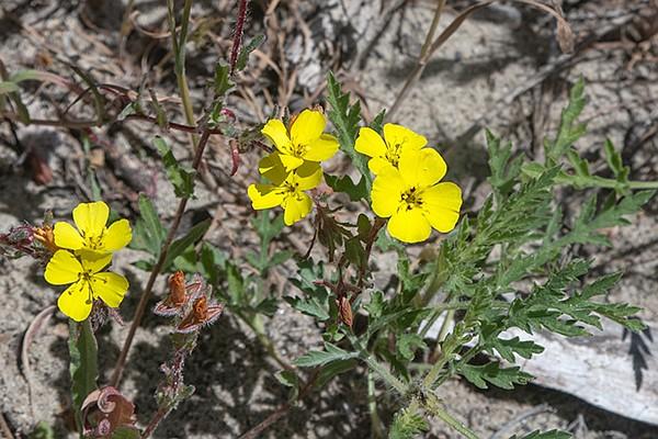 California Sun Cup (Camissoniopsis bistora) is a salt-sensitive annual.