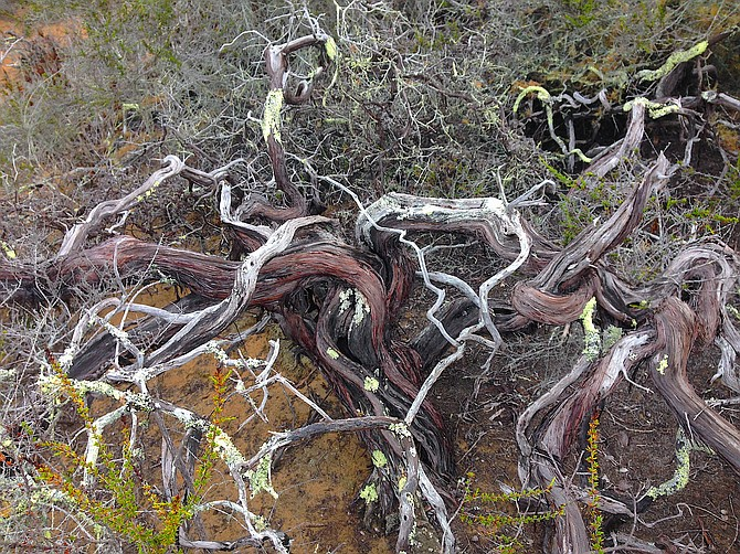 The beautiful old-growth trunk of the rare Morro manzanita (Arctostaphylos morroensis), Los Osos, California, October 2015.