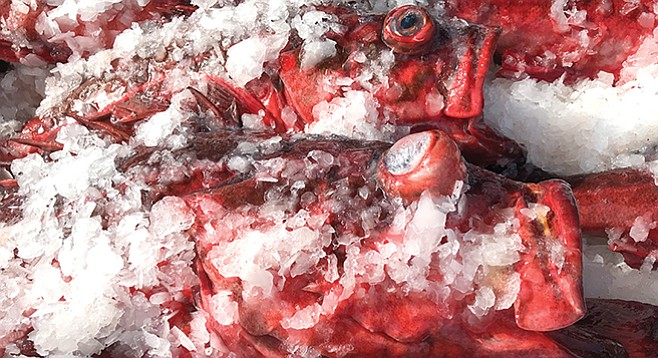 Rockfish with distended eyes