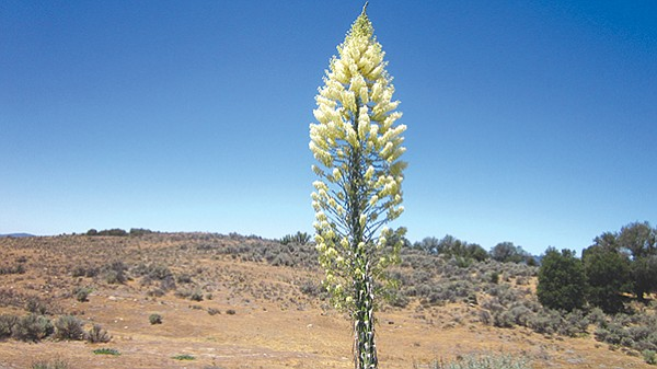 "Chaparral yucca at Aquanga. ""The low rainfall is due to the rain shadow of Palomar Mountain."""