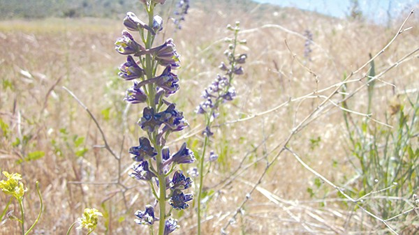 The indigenous Cuyamaca larkspur