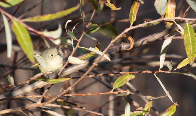 The endangered least Bell's vireo.