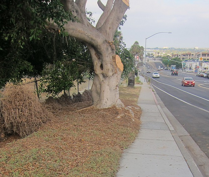 The city's sidewalk appears to not be damaged by the tree.