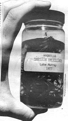 Hydrilla. In 1976 a suspicious-looking weed sample was hoisted out of Lake Murray on a grappling hook.