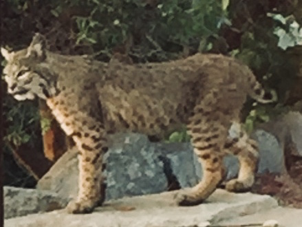 Bobcat at Robbins ranch on August 20.