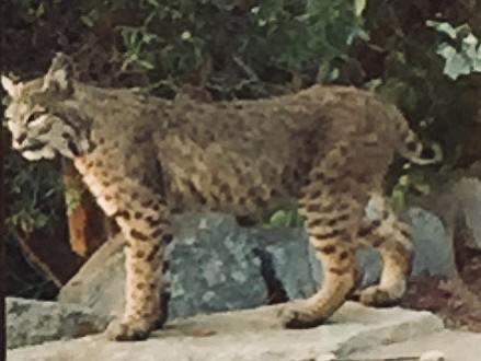 Bobcat at Robbins ranch on August 20.