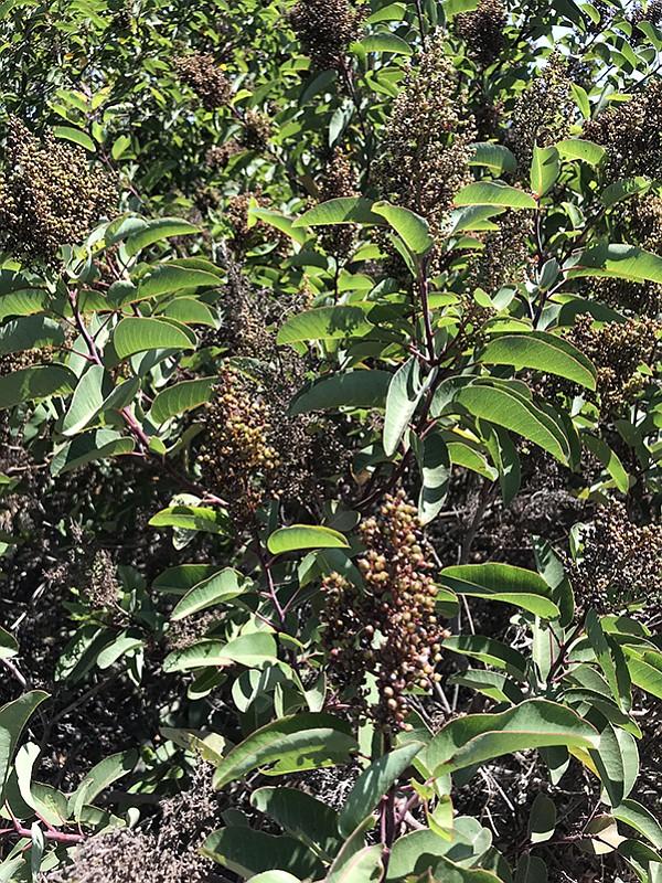 Native laurel sumac (Malosma laurina) grows in Florida Canyon