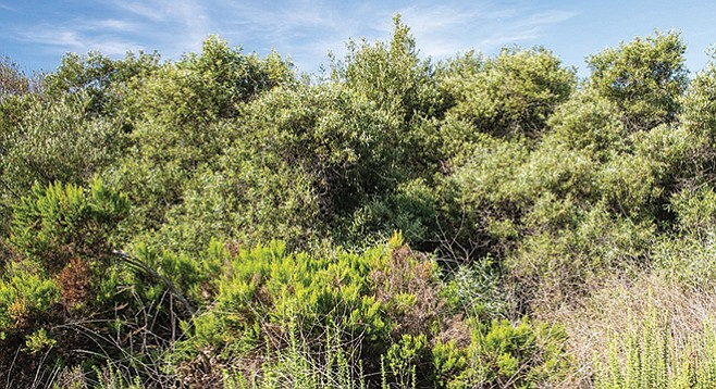 The lush arroyo willow forest contains the non-native Tree-of-Heaven