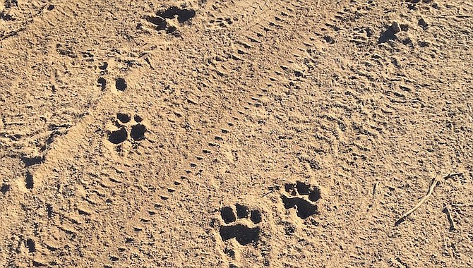 Alpine's Dan Scott was grading his driveway and saw these footprints.