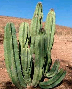 Lophocerus schotti cactus in the Valle de los Cirios were destroyed in last year's Baja 1000.