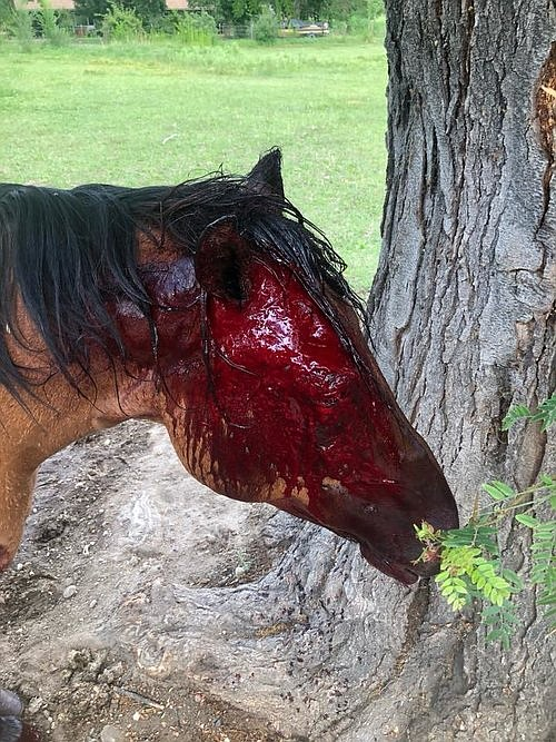 Choco, the horse most severely injured in attack.