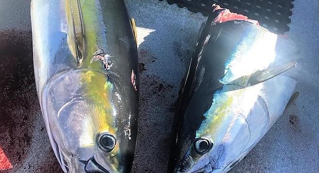 """""""Taxed"""" tuna at Guadalupe Island"""
