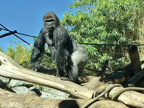 Paul Donn, the silverback dominant male, checks his domain