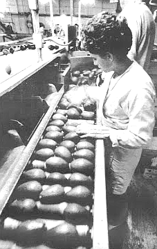 Avocado packing houses rarely employ undocumented workers, because the work there comes in streaks and the owners can't afford to have machines go unmanned due to mass deportations.