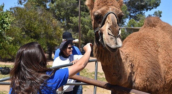 Pomegranate Day with the camels at Oasis Camel Dairy