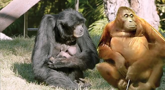 San Diego Zoo Orangutans