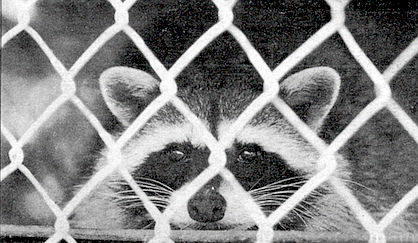 Raccoons will be for sale again in April at the Royal Pet Center in Lynnwood.