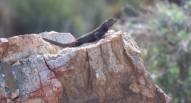 A western fence lizard keeps watch on his territory